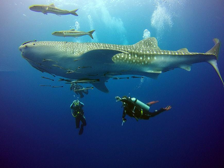Китовая акула на большом рэке у острова Ко-Чанг.