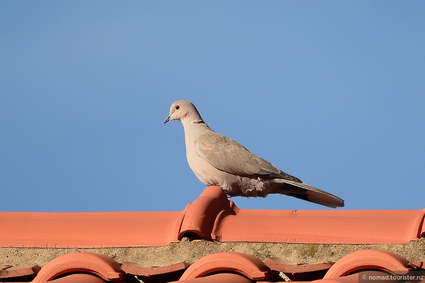 Кольчатая горлица, Streptopelia decaocto, Collared Dove
