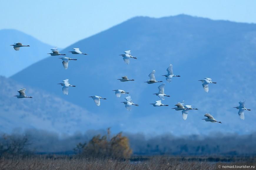 Малая белая цапля, Egretta garzetta, Little Egret