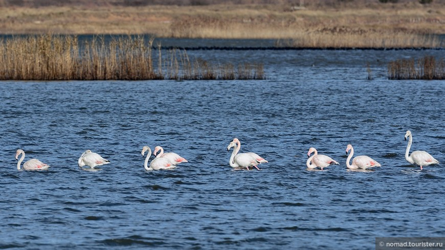 20. Обыкновенный (розовый) фламинго, Phoenicopterus roseus, Greater Flamingo