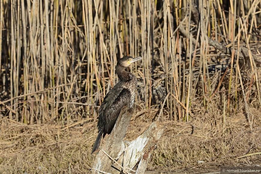 Большой баклан, Phalacrocorax carbo, Great Cormorant