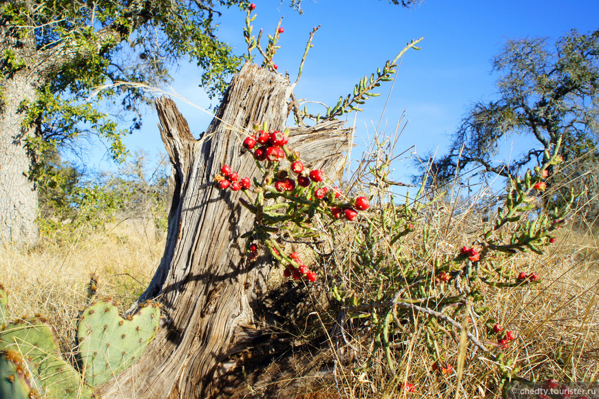 Этот кактус называется Рождественский и ягодки на нем появляются вовремя