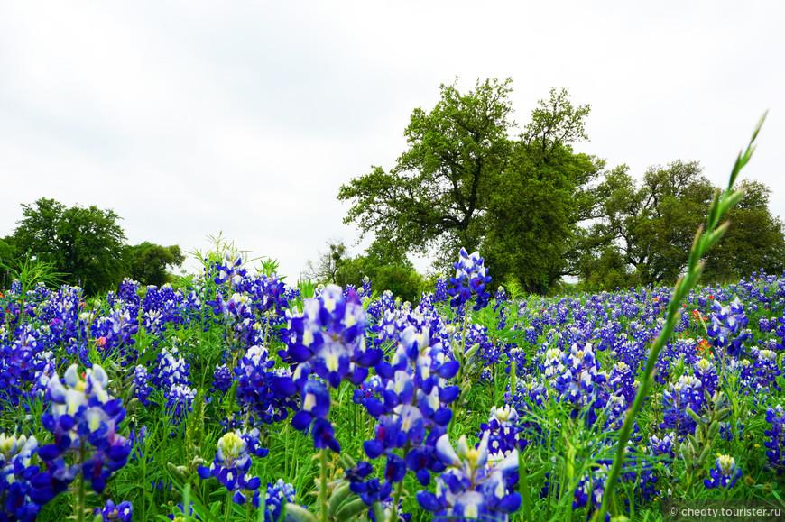 Блю Бонет (люпин) национальный цветок Техаса. В начале весны, которое обычно случается посередине зимы, луга становятся похожи на море.