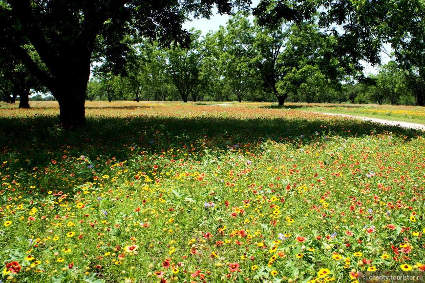 Это ореховый сад, если честно, до переезда в Техас ни когда такого не видел. Когда в Арцахе хотят орехов, то идут в ближайший лес.