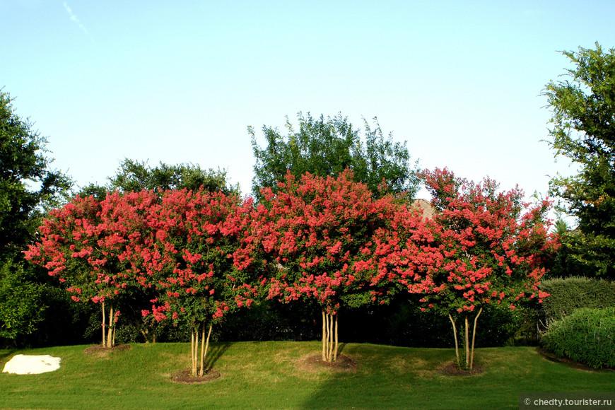 Как называются такие деревья не знаю, но цветут они усердно и долго, больше месяца.