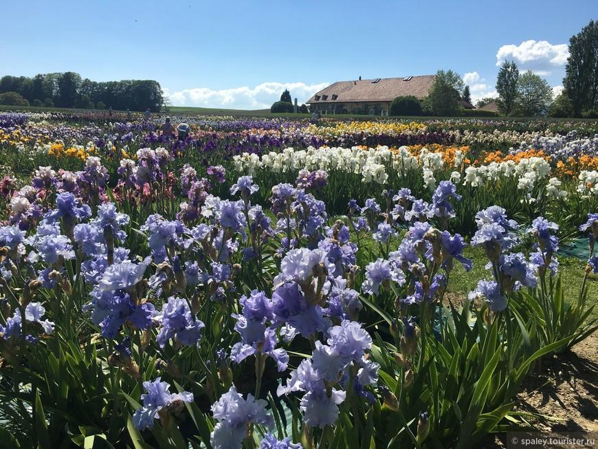 На территории в четыре гектара высажено 400 разнообразных сортов и более  50 000 цветов Ириса.