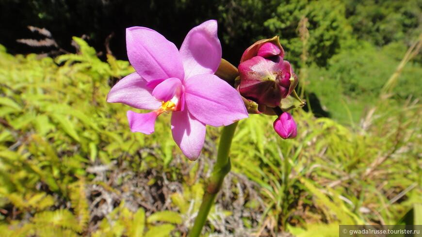 Лесная орхидея.