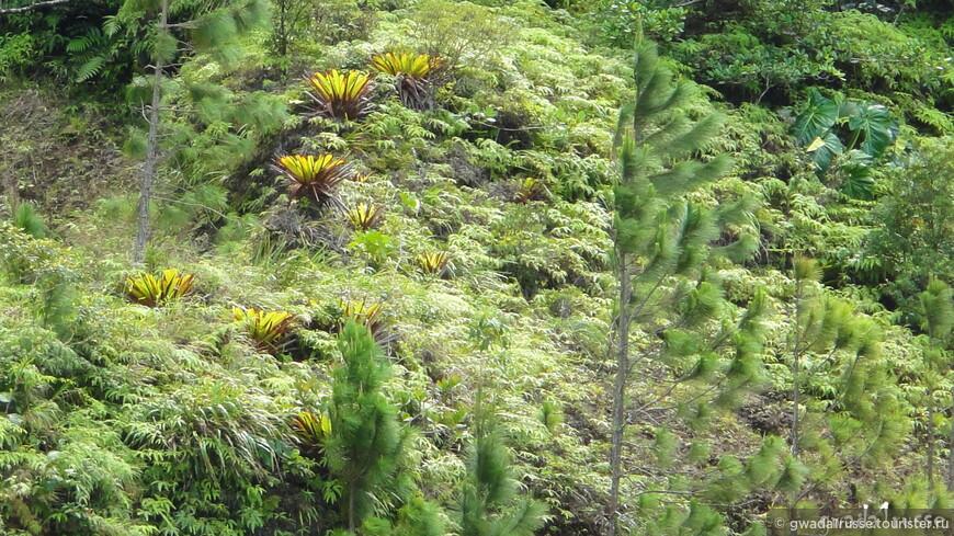 Уникальная флора высокогорной саванны Национального парка Гваделупа.