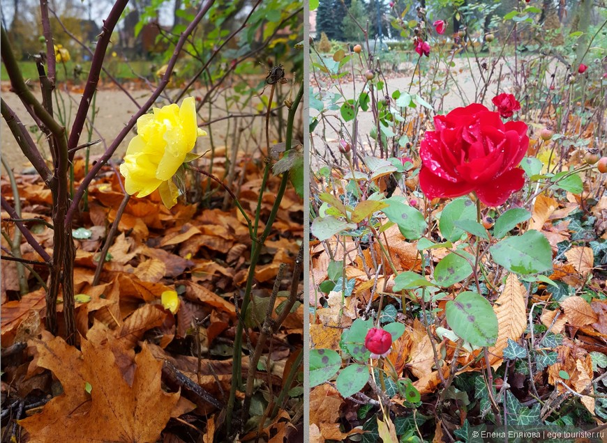 Недалеко от Летнего дворца цвели красные и жёлтые розы, и это - в ноябре.