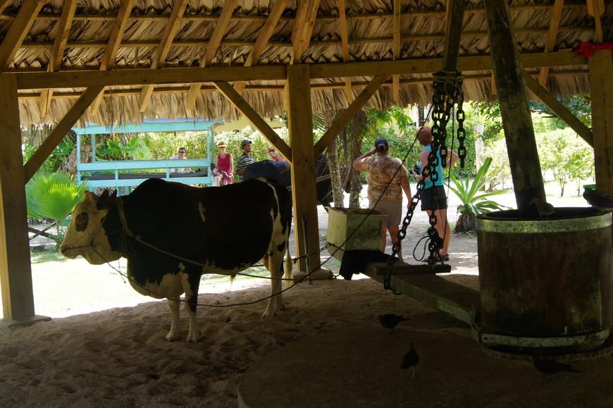А это животное, то ли мул, то ли бык - мешает кокосовое масло.