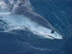 Пляж на Майорке закрыли из-за акулы
