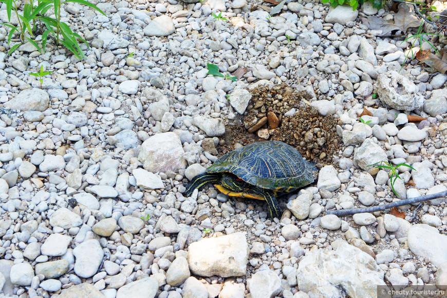 Вот еще черепаха несушка у нас во дворе обитает.