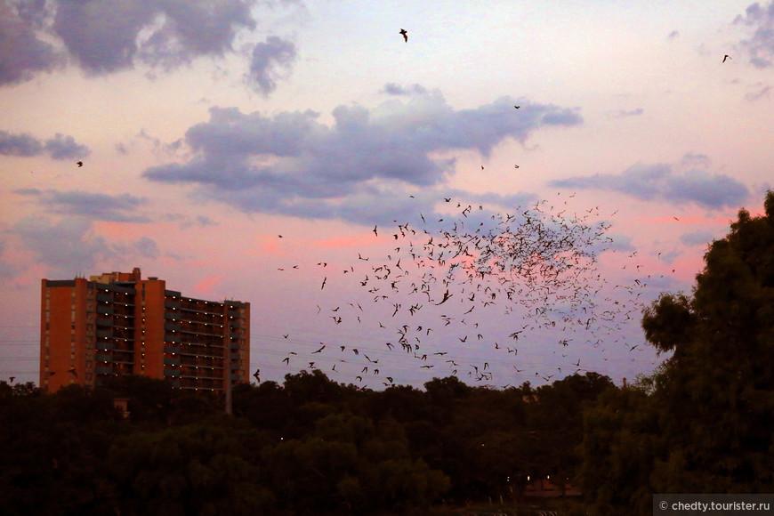 Еще у нас в городе есть очень неожиданные зверюшки. На закате, под первые гитарные аккорды (город очень музыкальный и вдоль реки стоят открытые эстрады) над водой поднимаются миллионы летучих мышей. Специалисты утверждают, что в городе их живет раз в пять больше чем людей.