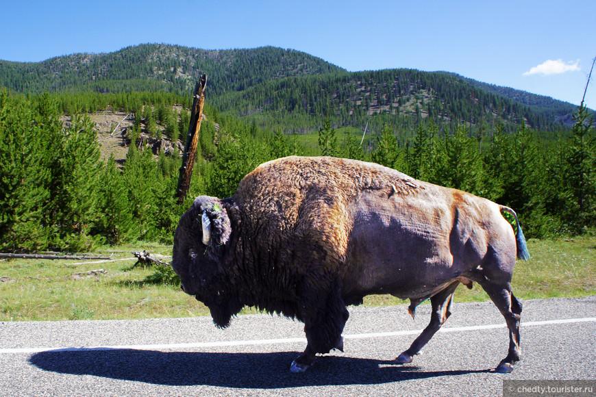 Как не состоявшийся егерь могу и вам дать совет как лучше общаться с диким животным. Когда по дороге идет бизон и мешает вам проехать, нужно посигналить и помигать фарами. Если не поможет и он не боднет вашу машину, нужно выйти из машины и дать бизону пинка. Что потом будет...? Вот в Испании, к примеру, бегают от быков и им очень нравиться. Бизон совершенно бесплатно обеспечит вам весь комплекс развлечений. Бегает он ничуть не хуже быка, а весу в нем раза в два больше.