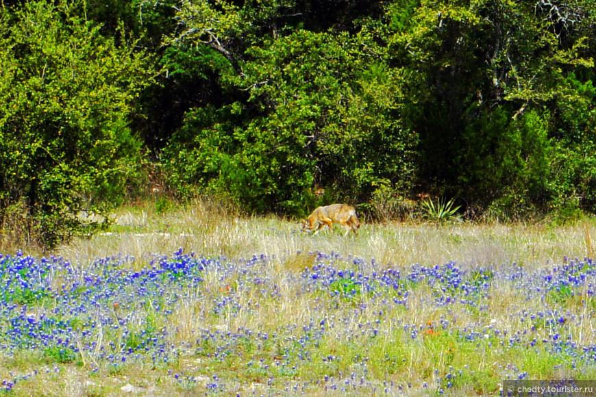 Волк даже не притворяется. Здесь до техасского Капитолия, откуда зорко следят за порядком в штате Техас, пять миль, а он явно Красных Шапочек вынюхивает.