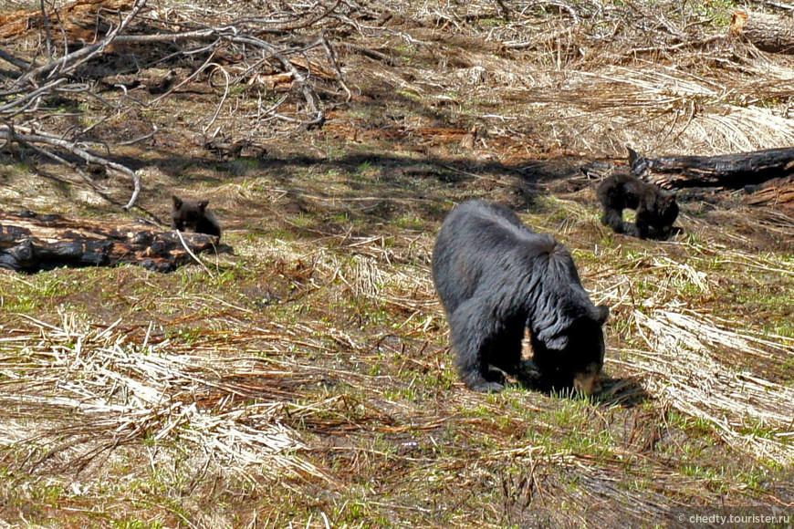 Это моя самая любимая звериная фотография. Медвежата недавно первый раз вылезли из берлоги. Только, только снег сошел. На варежки похожи, но «звери страшные», рычат «грозно» и дерутся между собой.