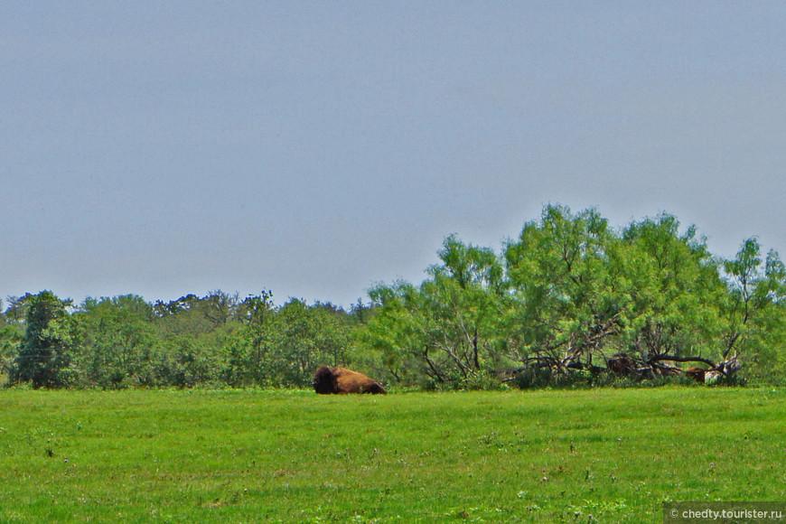 Эту фотографию просто поставлю чтобы вы не подумали, что в Техасе бизонов нет. Разные седьмые чувства бывают у фотографов, здесь мне почему то не захотелось подходить к нему близко. Бизонов в Техасе много, в Техасе мало деревьев на которые можно влезть, когда убегаешь от бизона.