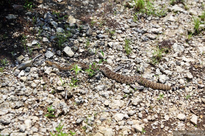 Наши техасские зверюшки из серии - внимательно смотрите под ноги.