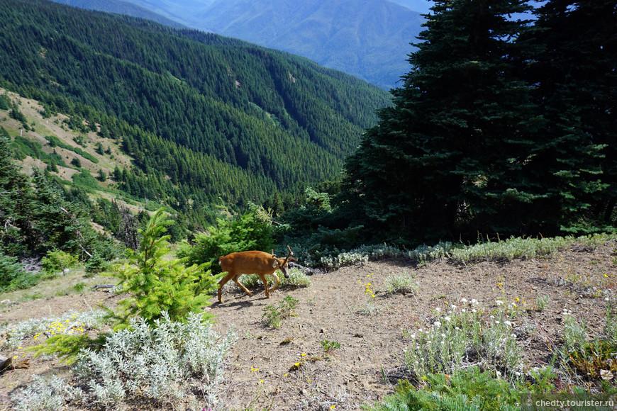 Просто симпатичный олень в красивых горах. Как называется олень не знаю, что за горы не помню.