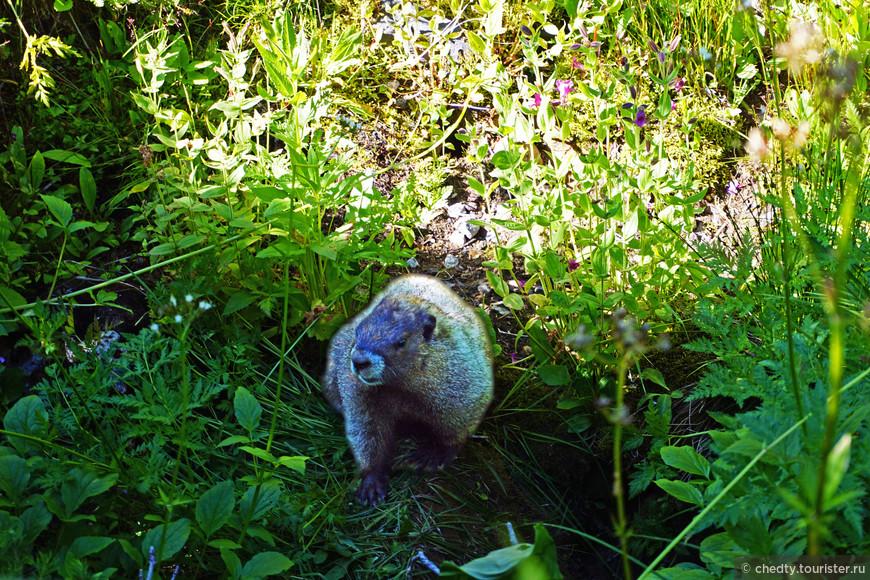 Такой здоровущий сурок называется мормот. Толстый забавный зверь, он довольно большой так на вид килограммов двадцать потянет.