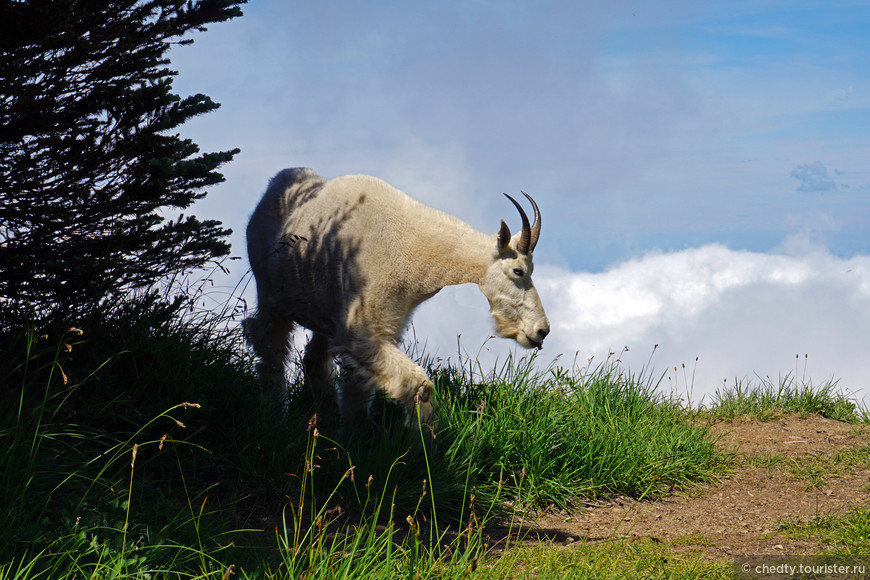 Этот белоснежный красавец живет выше облаков. Белый козел, который относится к виду Коз Белых. Правда красивый? Наверно это смелые козлы которые смешались с белыми медведями...