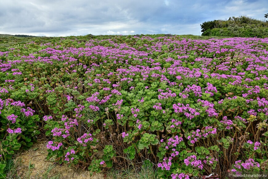 Если идти к мысу Рока пешком, то можно увидеть такие цветочные поля...