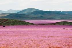 Самая сухая пустыня в мире превратилась в цветущий сад