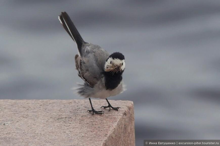 """Идет """"горячий сезон"""" кормления птенцов.....родители беспрестанно ловят насекомых."""
