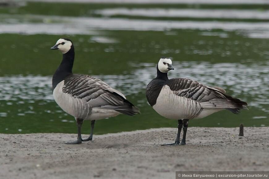 Белощекие казарки в Петрозаводске - самка и самец. Они там в какой-то год случайно остались и теперь постоянно там находятся на вольных хлебах, на Онежском озере.