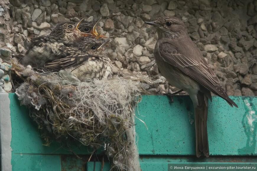 Семья Серой мухоловки.....там их в гнезде 5 птенцов!