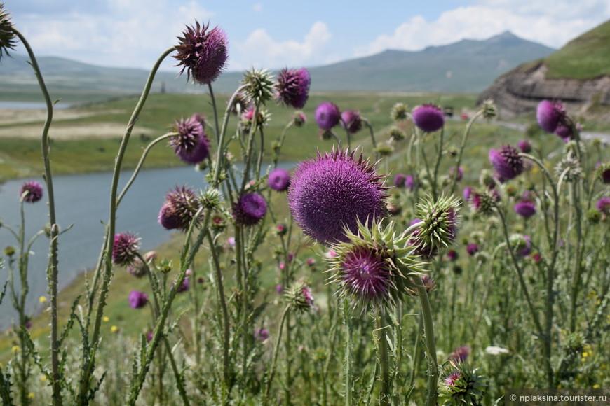 Кто скажет, что это за растение? Репейник, Расторопша? На заднем фоне Спандарянское водохранилище.