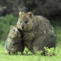 А вот и сами квокки - мама с малышом. Первооткрыватели острова, увидевшие этих кенгурят, приняли их за крыс. Поэтому и назвали остров Крысиный (Rottnest). Фото из интернета