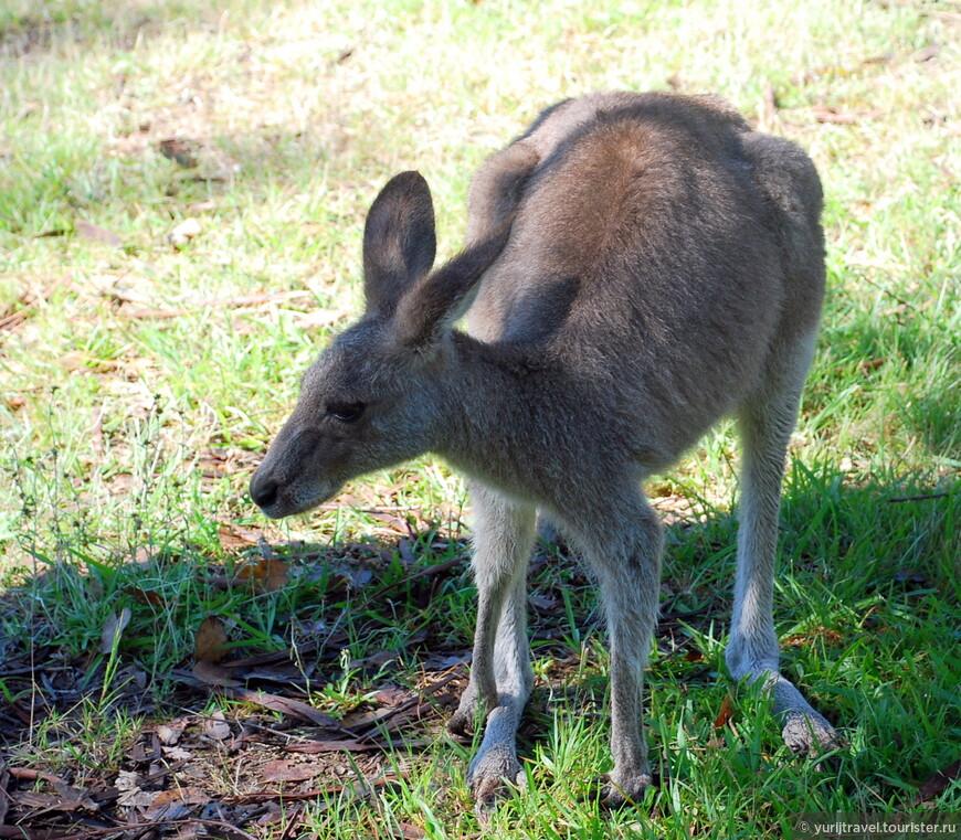 На пути к национальному парку Голубые горы, встретили парочку молодых кенгурят. Их родители что-то так и не появились пред нашими очами