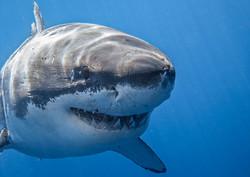 В Хургаде белая акула напала на человека
