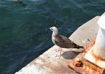 Чайки - неотъемлемая часть Стамбула. И неожиданно много рыбы рядом с причалом.
