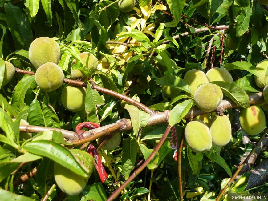 Бархатные абрикосики на ветке.