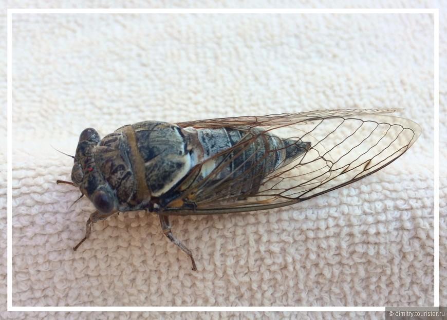Страшный зверь под названием цикада. Не так страшна, как выглядит. Зато орет благим матом с утра и до самого вечера.
