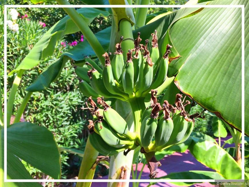 В южном климате даже бананы цветут.