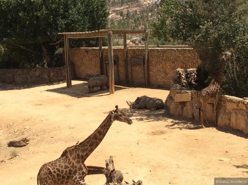 Жирафы Библейского парка. Иерусалим.