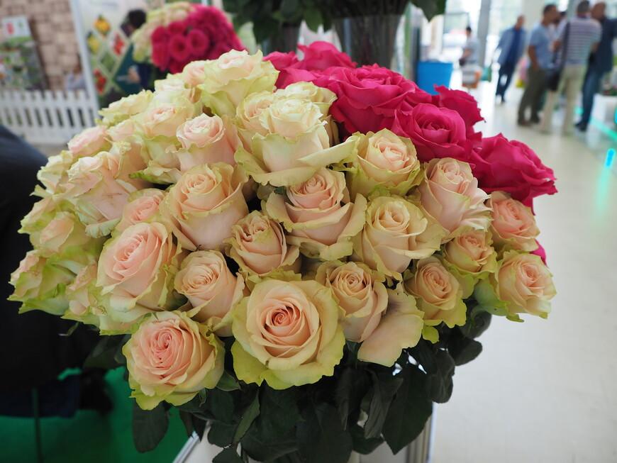 Оригинальные бело-розовые розы с зеленым отливом
