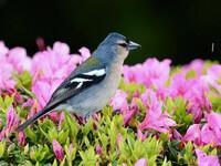 Птицы Азорских островов