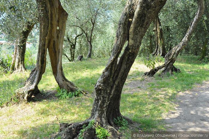 Некоторые оливковые деревья из-за своей древности уже лишились своей коры...