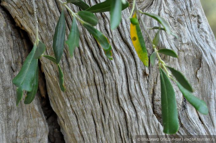 ...и можно провести ладонью по обнаженной древесине... это совершенно удивительное ощущение - тело оливковых деревьев теплое, шершаво-нежное, без единого скола и... оно замирает, принимая твою ласку...