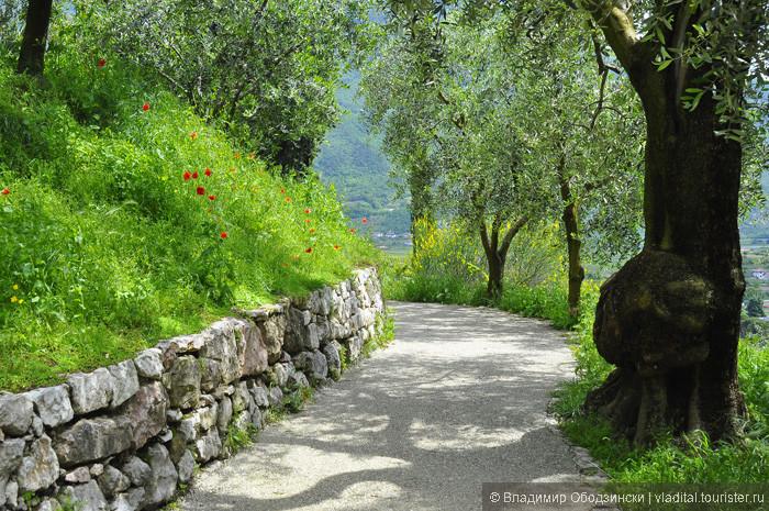 Серпантинная дорожка, ведущая от самого центра города к замку, вьется сквозь оливковую рощу, возраст деревьев в которой превышает сотню лет.