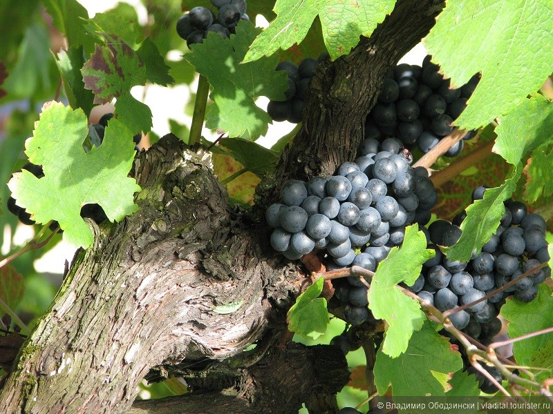 Виноград, сорт Каберне.