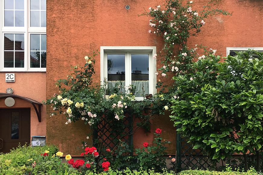 Розовый сад под окном все в том же спальном районе