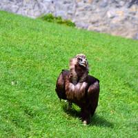 Самые смешные в шоу, это грифы! Эти крупные птички ленятся летать, им кидают цыплят на траву, они за ними бегают, как собачонка за мячиком.