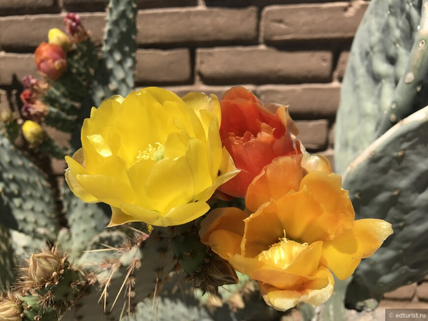 Как же красиво цветут кактусы весной