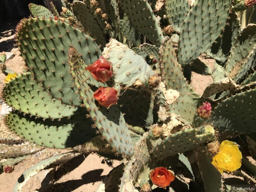 И опять цветующие кактусы