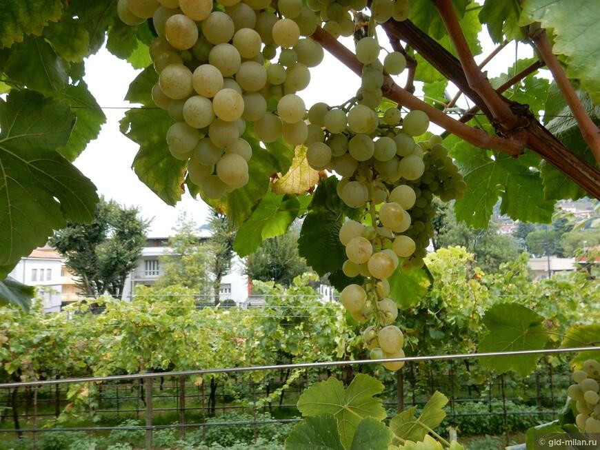 За несколько дней до сбора винограда.